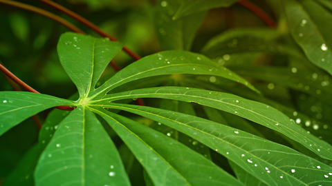 Leaves of tropical plant with drops of water. Thailand. Phuket Footage