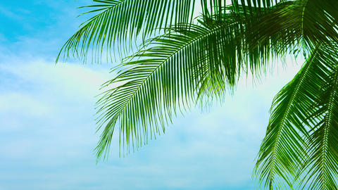 Leaves of a coconut palm tree against a beautiful sky Footage