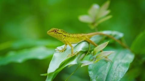 Small wild lizard on a tropical plant. Thailand. Phuket Island Footage