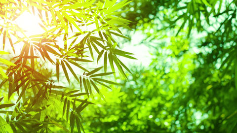 Bamboo Leaves in Sharp Relief against Sky Live Action