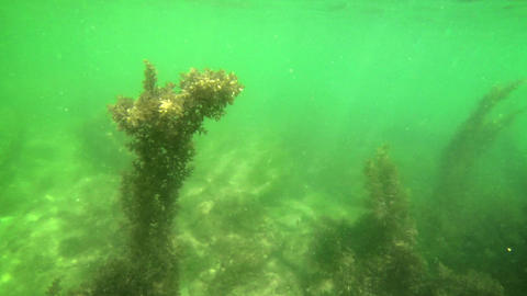 Close Flyby of Seagrass Column Underwater Footage