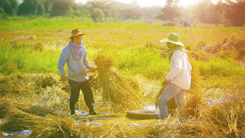 CHIANG RAI. THAILAND - CIRCA DEC 2013: Farm Workers Threshing Rice to Separate t Footage