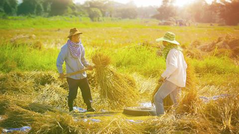 CHIANG RAI. THAILAND - CIRCA DEC 2013: Farm Workers Threshing Rice to Separate t Footage
