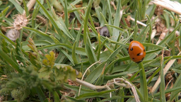 Ladybug (Coccinellidae) walking in the grass (2) Footage