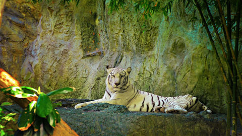 Video - White Bengal Tiger in Captivity at Zoo Footage