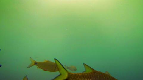 School of Endangered Fish in Vang Vieng. Laos Live Action