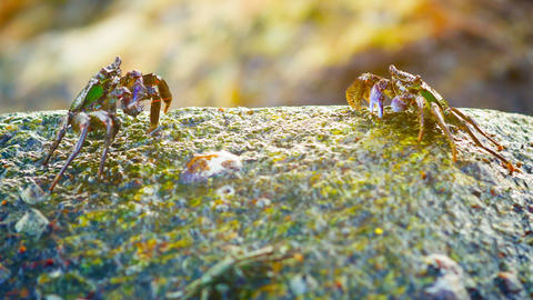 Live Crabs Grazing on a Rock in Thailand Footage
