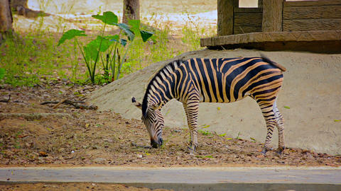 FullHD video - Zebra Grazing Nervously in His Zoo Enclosure Footage