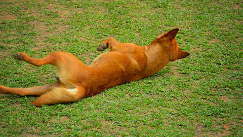 Male Dog Rolling in Grass at Vang Vieng. Laos Footage
