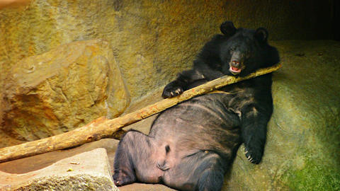 Asian Black Bear Scratches Back with Log at Chiang Mai Zoo in Thailand Footage