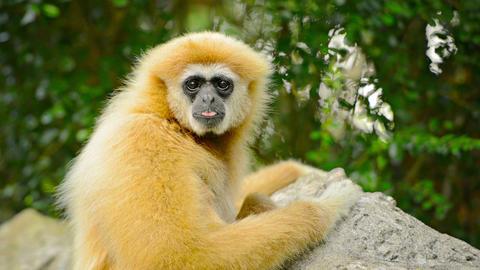 Endangered Lar Gibbon Looking at Camera at Chiang Mai Zoo Live Action