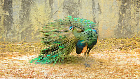 Mature Peacock Preening At Chiang Mai Zoo In Thailand stock footage