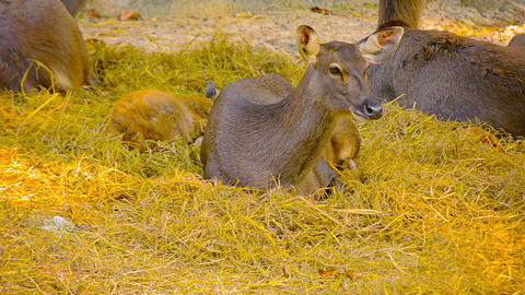 Mother doe watches over her baby at Chiang Mai Zoo in Thailand Footage