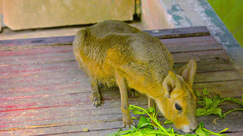 Wallaby eating Greens at Chiang Mai Zoo in Thailand Footage