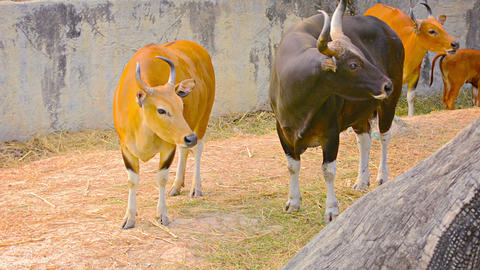 Banteng Wild Cattle Standing Side by Side at Chiang Mai Zoo in Thailand Footage