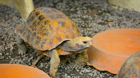 Tortoises in Reptile Exhibit at Chiang Mai Zoo in Thailand Live Action
