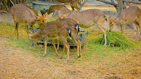 Axis Deer Feeding in Captivity at Chiang Mai Zoo in Thailand Footage