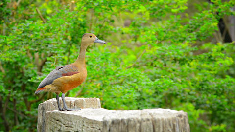 Solitary Lesser Whistling Duck Posing for Picture Footage
