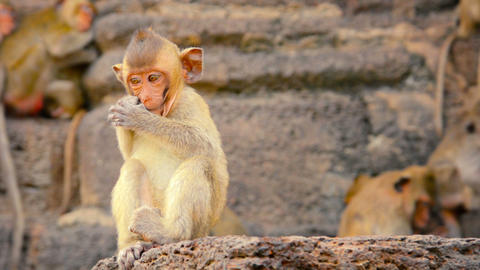 Baby Crab Eating Macaque Scratching his Face Footage