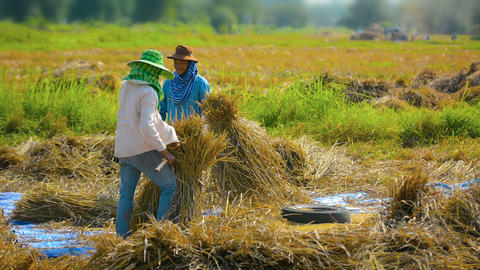 CHIANG RAI. THAILAND - CIRCA DEC 2013: Farm Workers Bundling Rice Stalks for Thr Footage