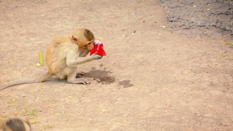 Young Monkey Bites Into Plastic Bag to Drink Footage