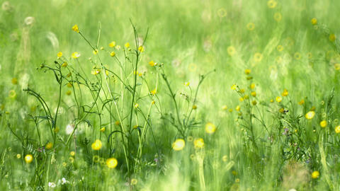 Selective Focus of Buttercups in the Field ライブ動画
