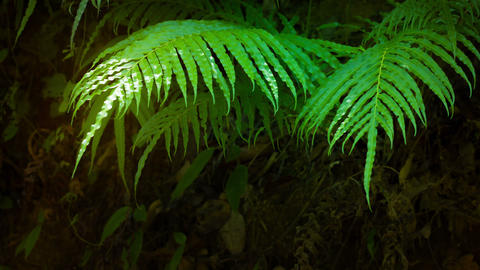 Delicate Fern Leaves Fluttering in the Mild Breeze Footage