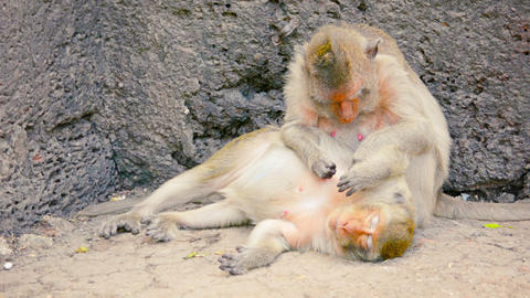 Video - Troop of Crab Eating Macaque monkeys, napping amongst the rocks and groo Footage