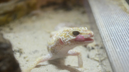 Small Desert Lizard And It's Tongue stock footage