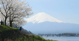 4 K 富士_さくら mt_Fuji & cherry blossoms Footage