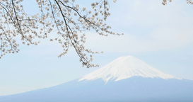 4 K mt Fuji_cherry blossoms Footage