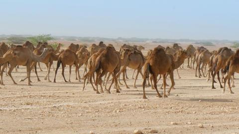 Herd of camels in oman desert medium shot Footage
