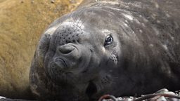 Elephant Seal (Mirounga Leonina) stock footage