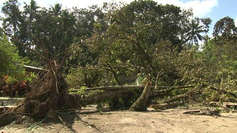 Hurricane Wind Damage To Large Trees Footage