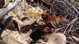Hornets coming out of the hole (part one) Footage