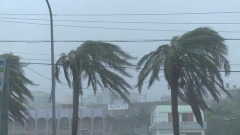 Hurricane Winds Thrash Palm Trees Footage