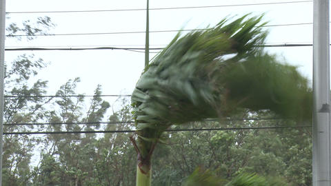 Palm Tree Thrashes In Tropical Storm Winds Footage