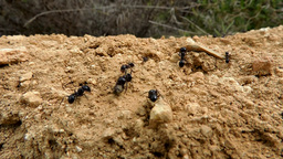 Ant trail on a rock Footage