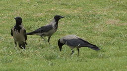 Hooded crow (Corvus cornix) digging a hole in the ground Footage