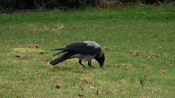 A hooded crow (Corvus cornix) digging a hole in the ground Footage