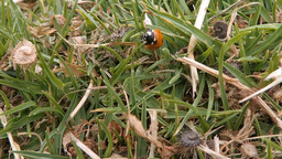 Ladybug (Coccinellidae) walking in the grass (4) Footage