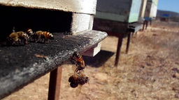 Western Honey Bees (Apis Mellifera)in A In A Apiary stock footage