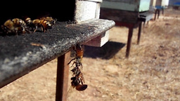 The rescue action of the bees in front of the apiary in slow motion Footage