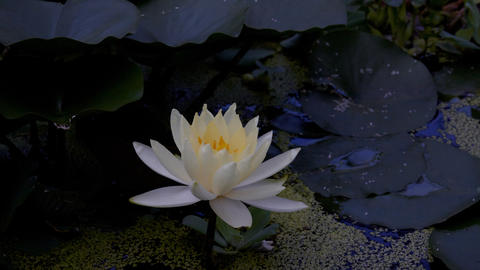 Time lapse opening of water lily flower Footage