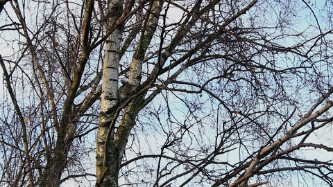 Gray squirrel sitting on the tree 4 Footage