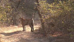 Bengal Tiger Scent Marking stock footage