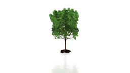 Tree growing wAlpha Animation