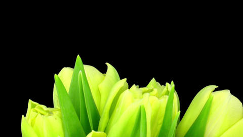 Time-lapse opening yellow tulip bouquet with ALPHA matte 8 Stock Video Footage