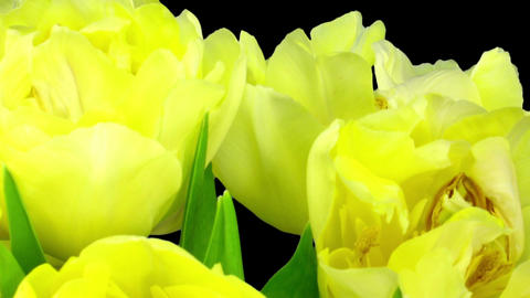 Time-lapse opening yellow tulip bouquet with ALPHA matte 8 Footage