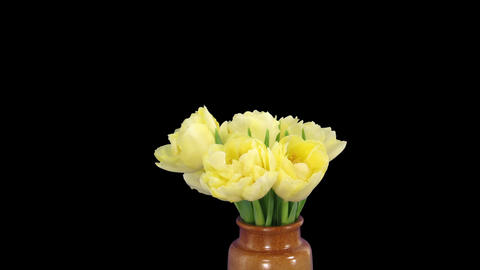 Time-lapse opening yellow tulip bouquet with ALPHA matte 11 Footage